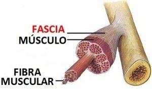fascia-muscular-300x177