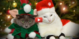 Cat Christmas Whishes