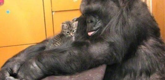 горилла коко и котята