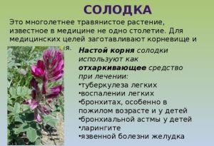 tselebnye-svojstva-solodki