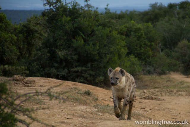Spotted Hyena, spotted having a drink. Then walked right in front of the car.