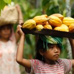 Young girls carring basketsof cocoa pods on their head