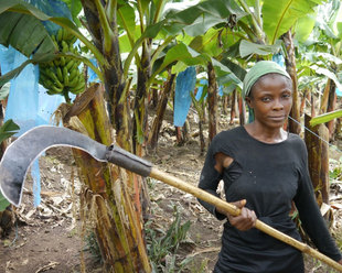 Climate change hits [women] banana farmers