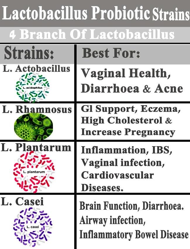 Lactobacillus - Probiotic