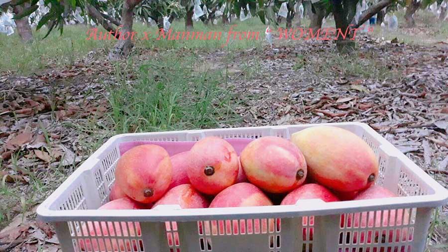 預購‼2019水蜜桃芒果(紅龍)十斤$740(含運)▶▶藏在細節裡的好品質