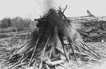 Fig. 6 The first set of Japanese cherry trees being burned on the mall following the discovery of potentially harmful plant pathogens and insects (8)