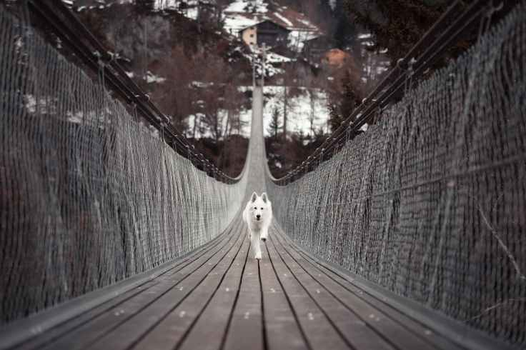 dog running on bridge