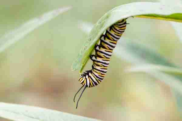 Raising Monarch Butterflies
