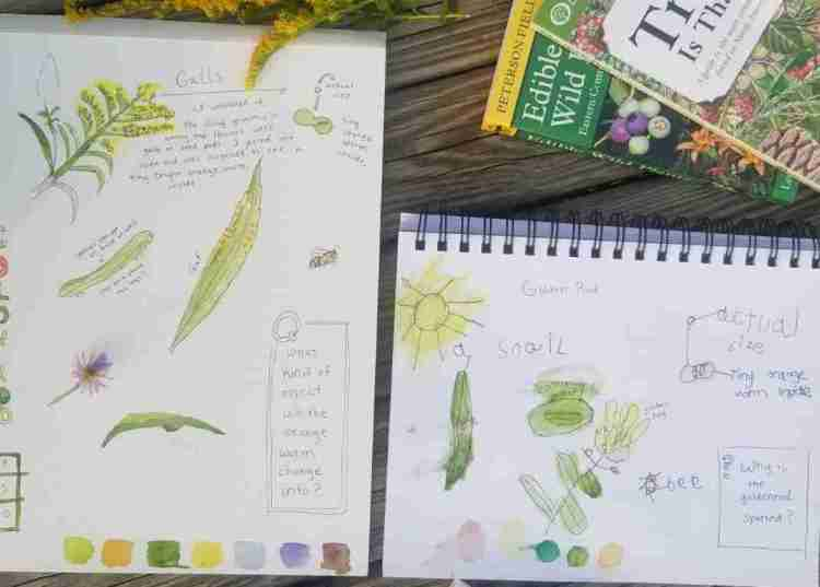 Goldenrod Fall Nature Study