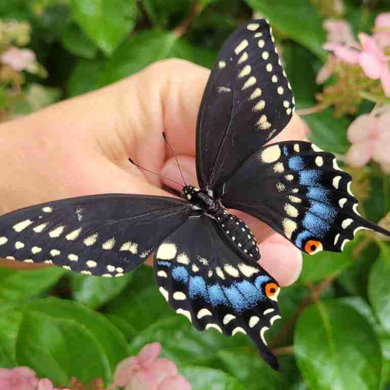 Swallowtail butterfly on hand