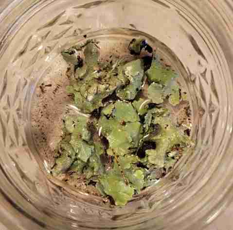 Rehydrating Lichen