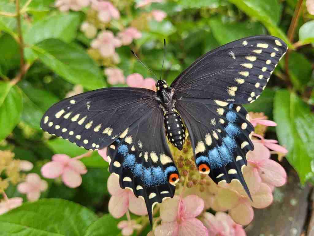 Eastern-Black-Swallowtail