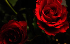 background images with roses 2