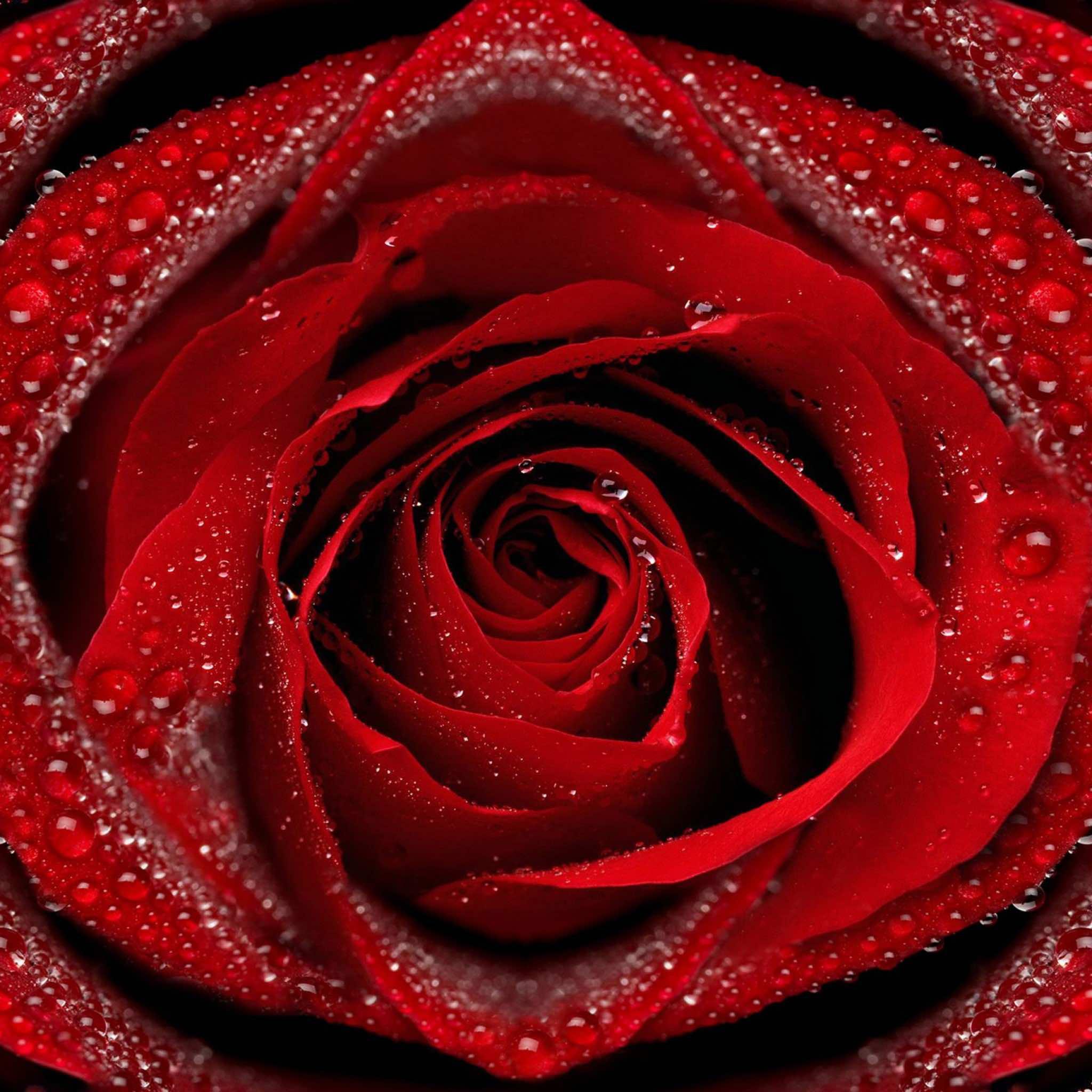 Falling Rose Petals Wallpaper 74 Rose Wallpaper For Hd Download