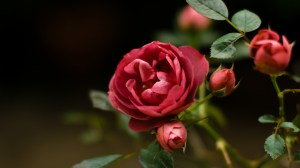 background images with roses 1