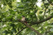 Great Spotted Woodpecker in tree tops above nest hole