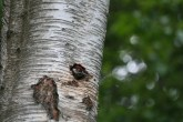 Great Spotted Woodpecker chick poking its head out looking for mum