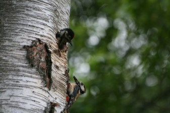 Great Spotted Woodpecker chick head poking out waiting for parent to fed it.