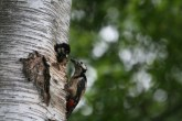 Woodpecker chick poking its head out of the nest hole, been fed by parent.