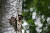 Great Spotted Woodpecker chick poking its head out of the nest hole.