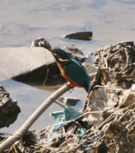 Kingfisher on the river Ribble