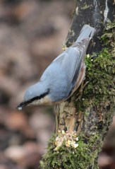Nuthatch pose, coming down tree.