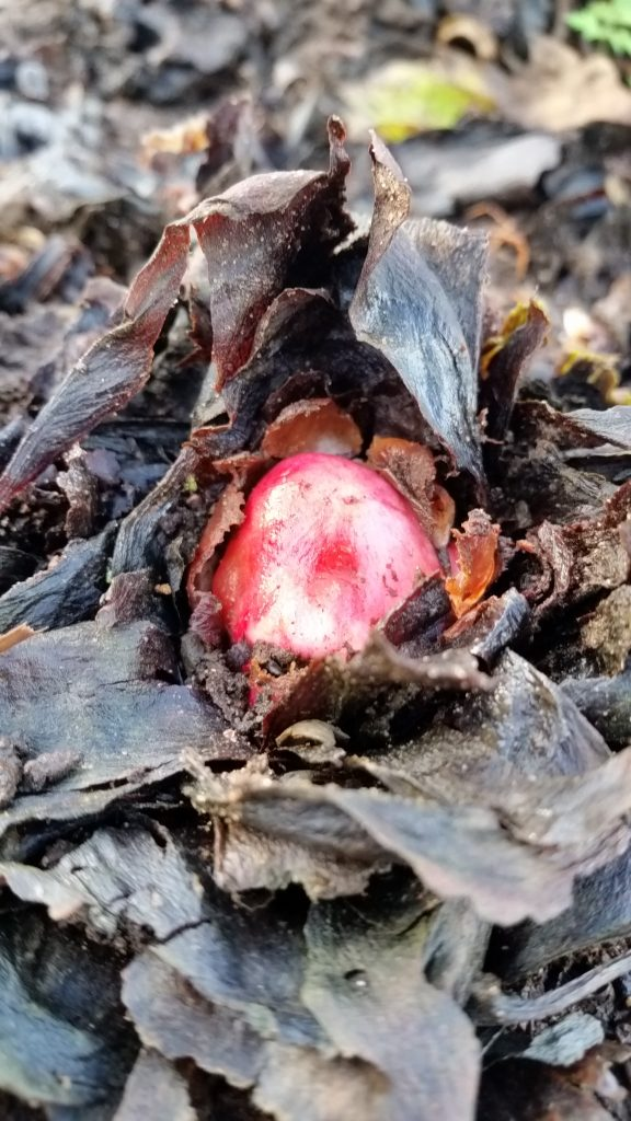 The ruby red of the rhubarb crown is forced into action