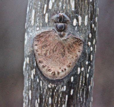 N-shag leaf scar