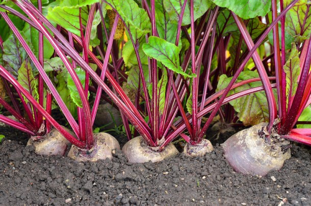 Beetroot growing on The Wonderpost Allotment