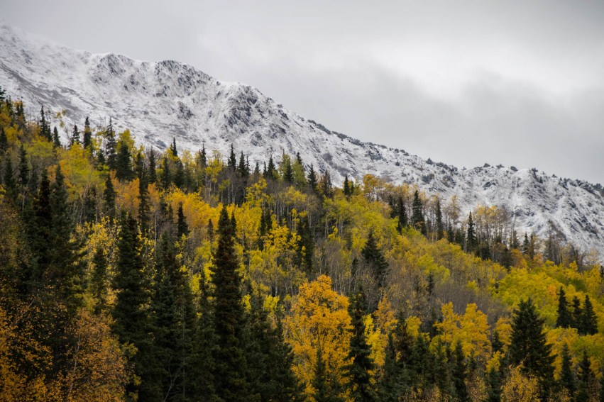 The fall arrives in an Alaskan forest as birch leaves change from green to orange and snow dusts the mountain tops.