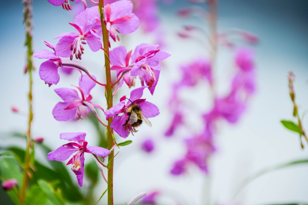 A close up is seen of a bumblebee that is collecting nectar from pink fireweed flowers. other flowers are seen blurred out in the background due to the shallow depth of field.