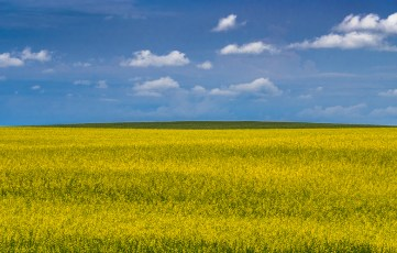 Canola Field Near Bleriot Ferry
