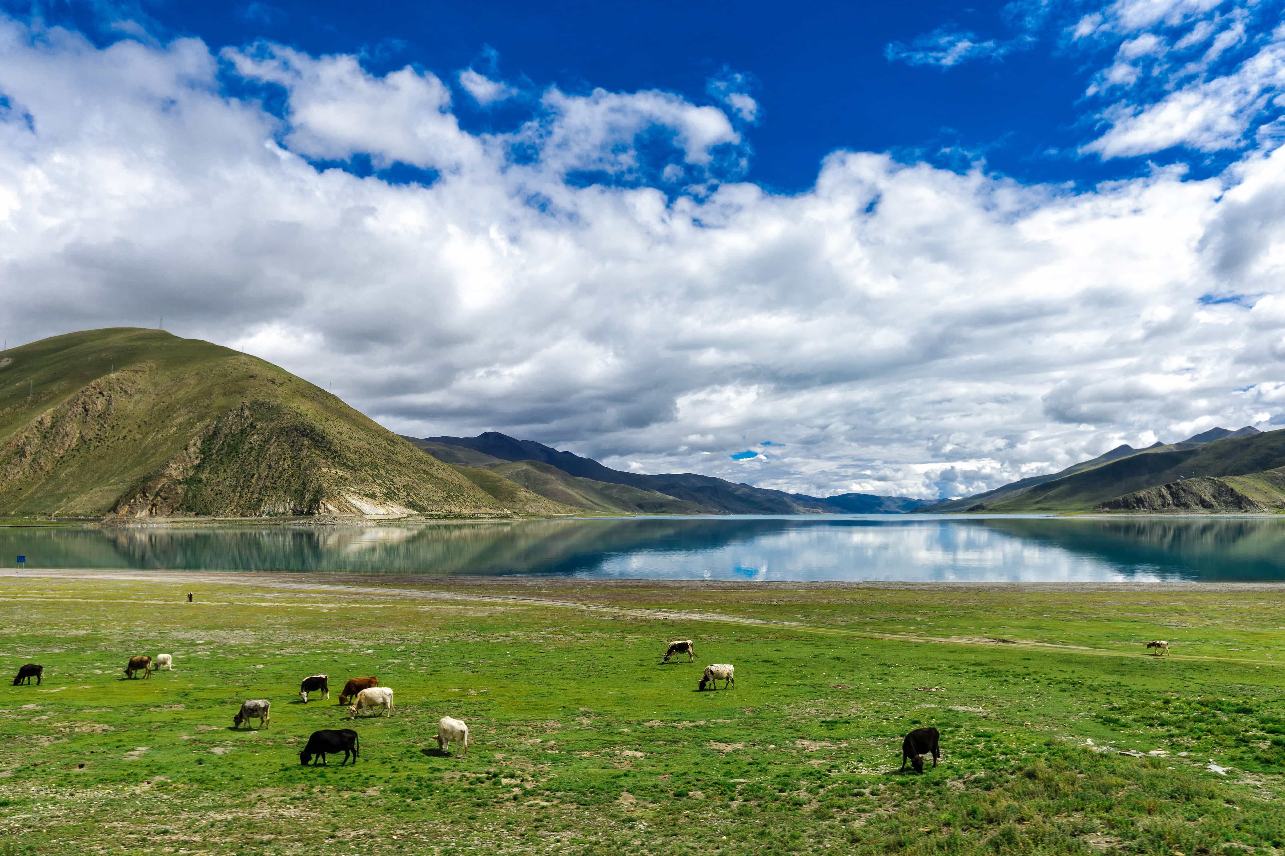 Herd of cows near Yamdrok lake in Tibet