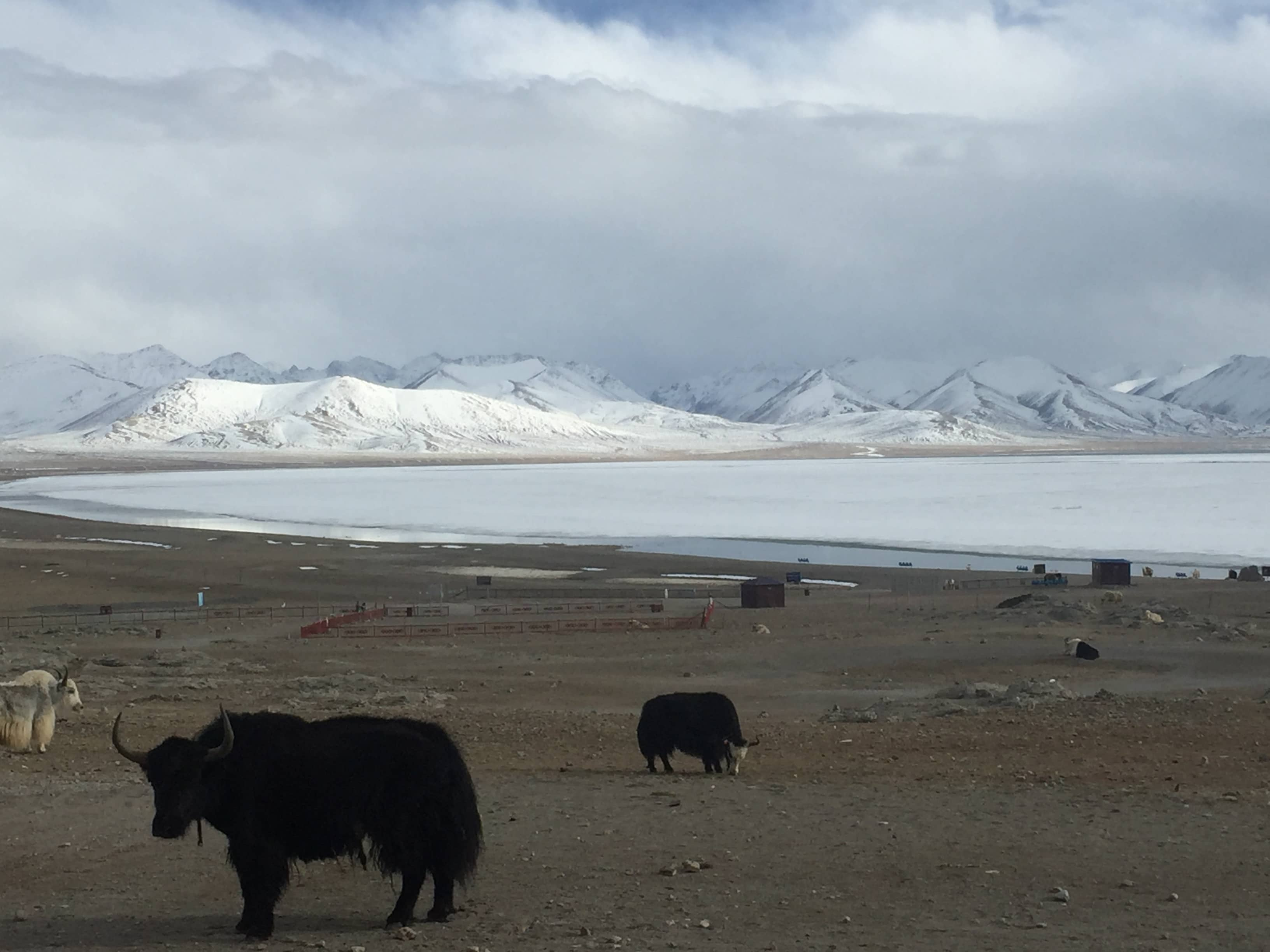 Yaks grazing by the Namtso Lake in Tibet
