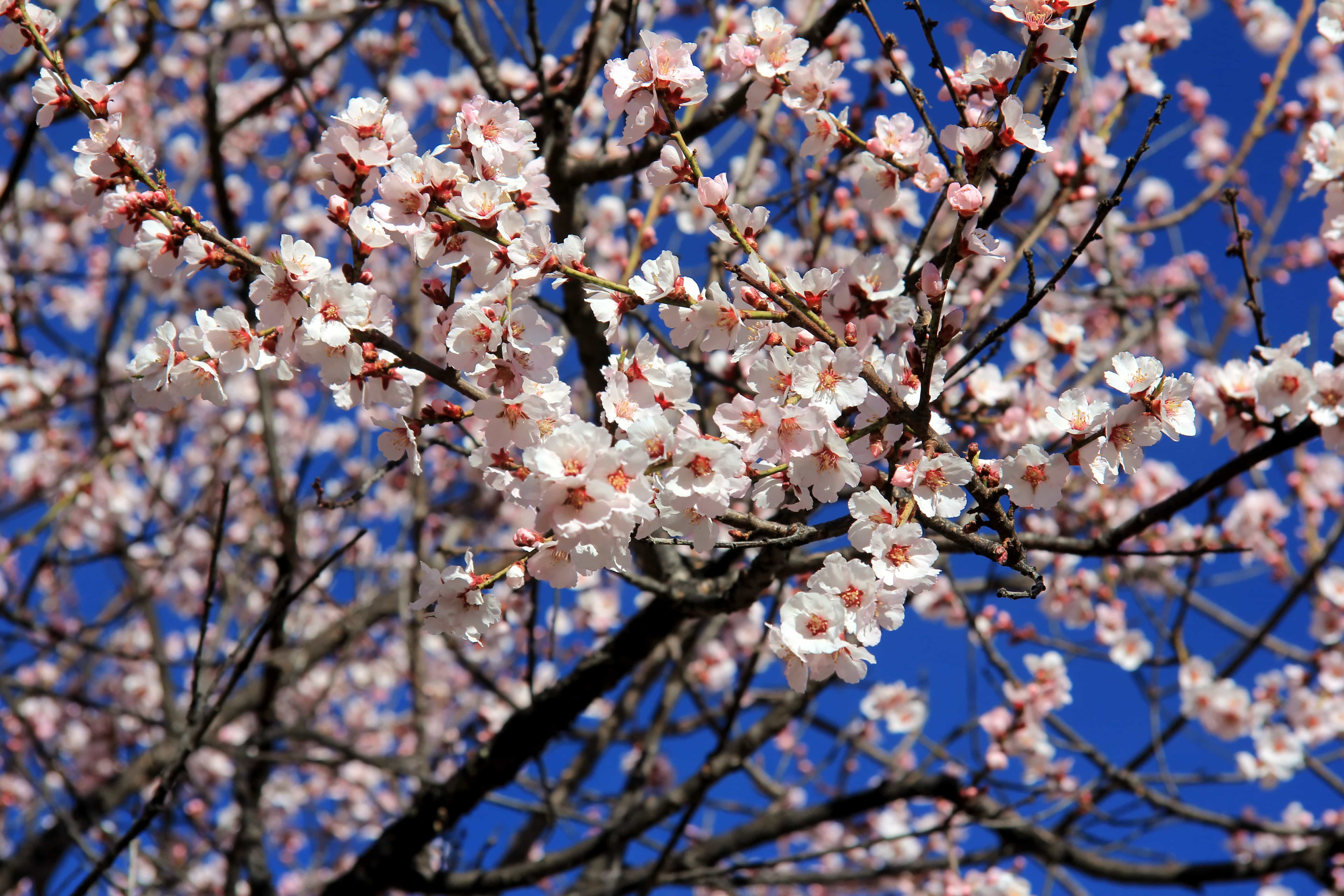 Peach blossom in Nyingchi Estaern Tibet