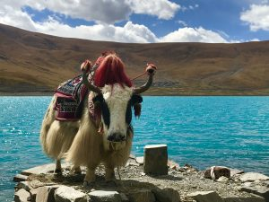 White yak on the Yamdrok lake shore in Tibet