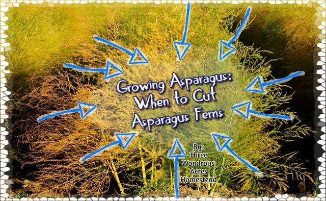Asparagus Tips: When to Cut Asparagus Ferns - 3 Wondrous ... Planting Asparagus In The Fall