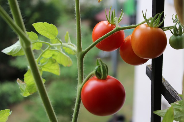 My Tips and Secrets: How Far Apart to Plant Tomatoes for ...