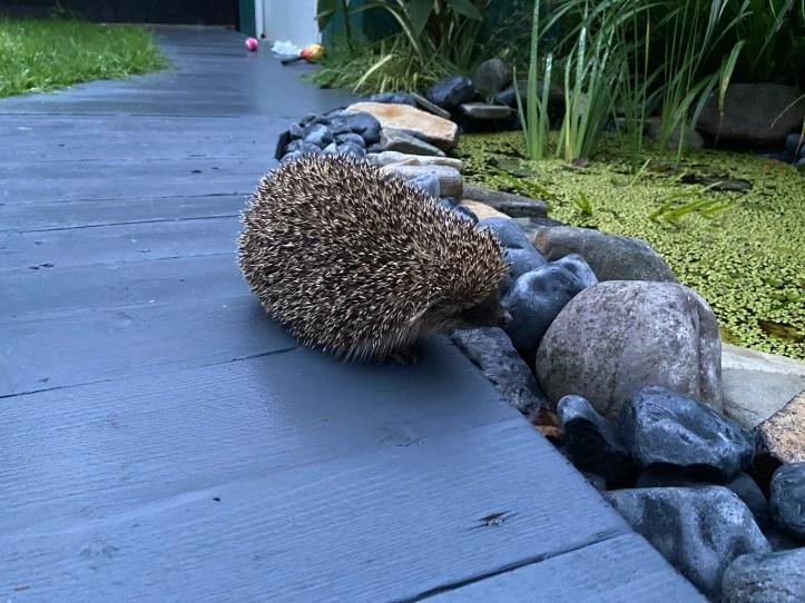 hedgehog by pond