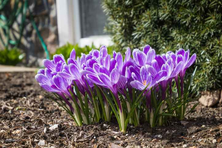 close up photo of purple crocus flowers