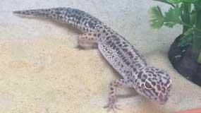 Leopard Geckos – Now in stock