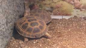 Horsefield Tortoise – Back in stock