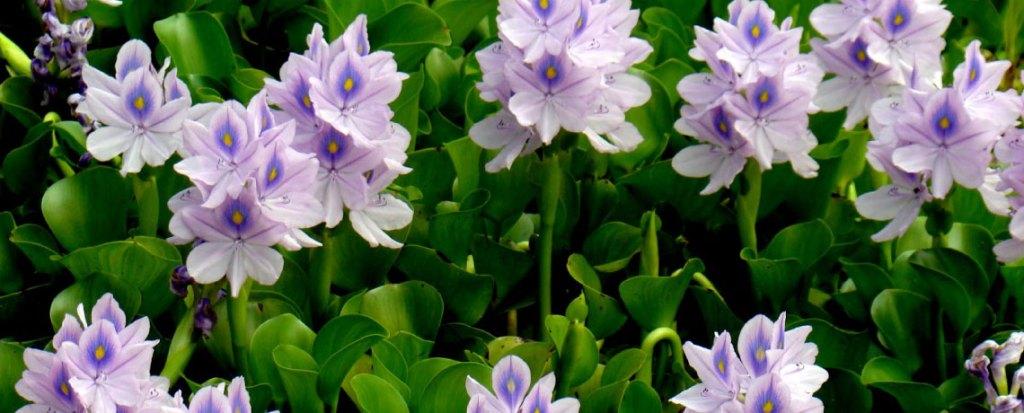 Water Lilies &Pond Marginals