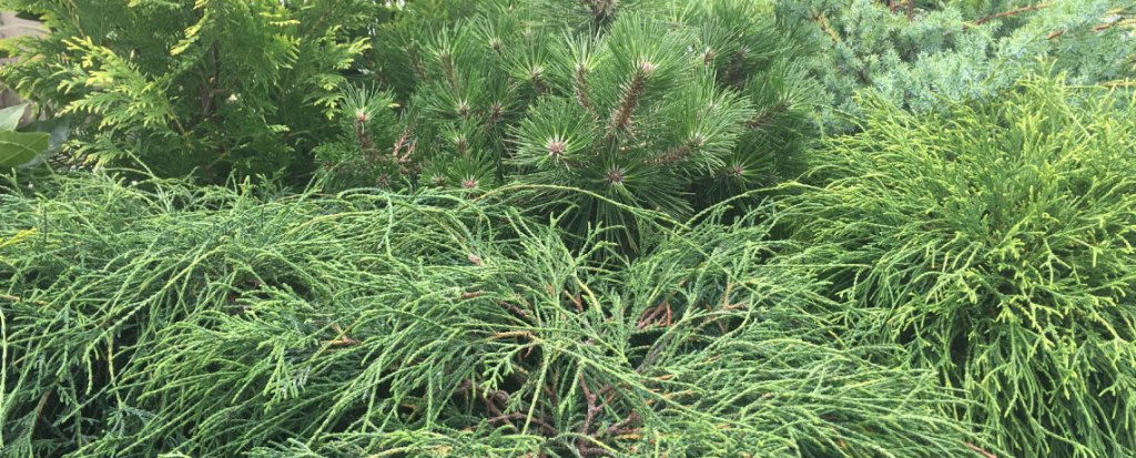Container conifers for year-round pleasure