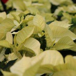 poinsettia-yellow