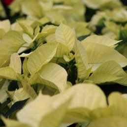 poinsettia-yellow