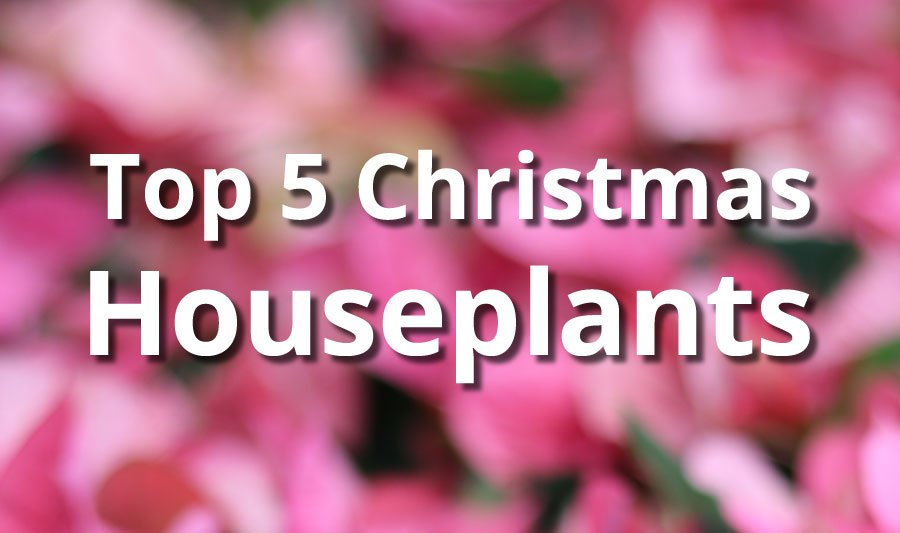 Top 5 Christmas Houseplants