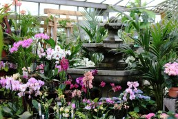 Many orchids are available for the rapidly increasing demand in house decoration. The flowers have an instant exotic appeal and are very long-lasting