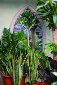 Mother-in-Law's Tongue (also known as Snake Plant) is one of the most carefree house plants you can grow. It thrives in just about any light. Prefers dry air and soil. Rarely needs repotting.