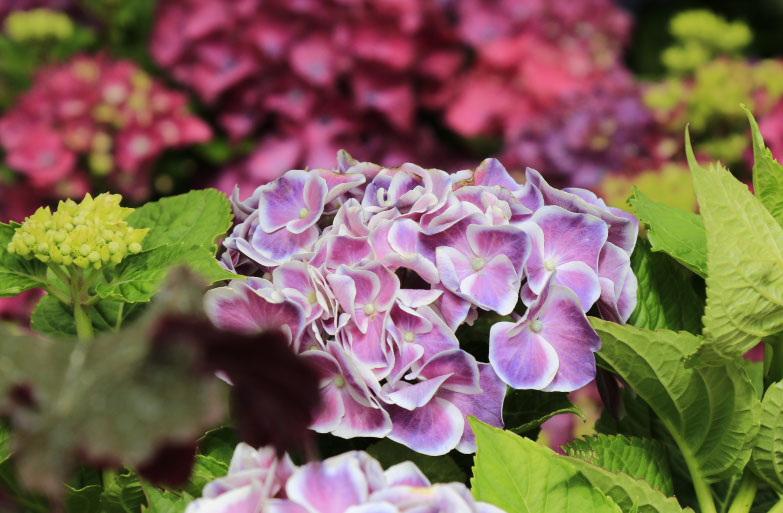 Hydrangea-plant-of-the-month-august